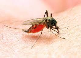 Anapholes Mosquito